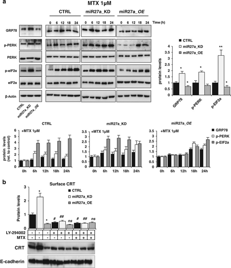 miR-27a counteracts mitoxantrone-induced ICD through the same UPR pathway. ( a ) Immunoblot analysis of PERK, p-PERK, eIF2 α , p-eIF2 α and GRP78 in time-course experiments of HCT116 CRTL, miR27a_KD and miR27a_OE cells treated with 1 μ M MTX; phosphorylation was referred to equivalent amounts of the non-phosphorylated forms of the proteins in all cells and then to β -actin used as a loading control. Quantification of the bands in basal and in the kinetic conditions is reported. ( b ) CRT cell surface expression in HCT116 CRTL, miR27a_KD and miR27a_OE cells untreated or treated for 12 h with 20 mM LY-294002, alone or in combination with 1 μ M MTX for the last 6 h. Densitometric analysis was carried out after normalization to E-cadherin. * P ⩽0.05; ** P ⩽0.01 (two-tailed Student's t -test) versus HCT116 CRTL cells; # P ⩽0.05; ## P ⩽0.01 (two-tailed Student's t -test) versus MTX-untreated cells. The values are representative of five experiments