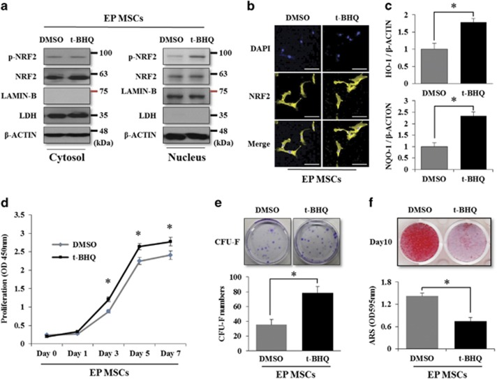 t-BHQ induces nuclear import of NRF2 and enhances the self-renewal capacity, but does not affect the osteogenic differentiation of EP MSCs. ( a ) EP MSCs were incubated in basal growth medium (DMEM-LG containing 10% FBS) in the presence of DMSO or t-BHQ (10 μ M) for 16 h. Cell lysates were prepared for the DMSO-treated or t-BHQ-treated EP MSCs, and then fractionated into nuclear and cytosolic extracts. The protein levels of NRF2 and phosphorylated NRF2 were analyzed by western blot analysis for the DMSO- or t-BHQ-treated EP MSCs. The LDH protein level was used as a loading control for cytosolic extracts, and the protein level of LAMIN-B was used as a loading control for nuclear extracts. The expression level of β -CATENIN was also used as a loading control for both cytosolic and nuclear extracts. DMSO was used as a vehicle of t-BHQ. ( b ) Immunofluorescence was performed to observe the nuclear and cytosolic localization of the NRF2 protein in the DMSO- or t-BHQ (10 μ M)-treated EP MSCs. The nuclei were stained with DAPI, and NRF2 was stained with Alexa Fluor 568 (Yellow)-conjugated secondary antibody. The images were obtained using confocal microscopy. Scale bar=100 μ m. ( c ) The mRNA expression levels of HO-1 and NQO-1 were also analyzed with qRT-PCR. * P