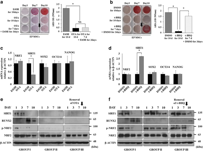 Rescue patterns of suppressed osteogenic potential upon the removal of OTA or t-BHQ, and the association with NRF2 nuclear localization and stemness genes. ( a ) EP MSCs (8 × 10 4 cells per well in 12-well plates) treated with EtOH or OTA (10 μ M) were incubated in osteogenic medium for 10 days. In addition, OTA application was stopped on day 7 of osteogenic differentiation in another group. Alizarin red S staining was performed to detect mineral deposition at days 3, 7, and 10. For quantitative analysis, absorbance was measured at 595 nm following destaining with 10% cetylpyridinium for 30 min. * P