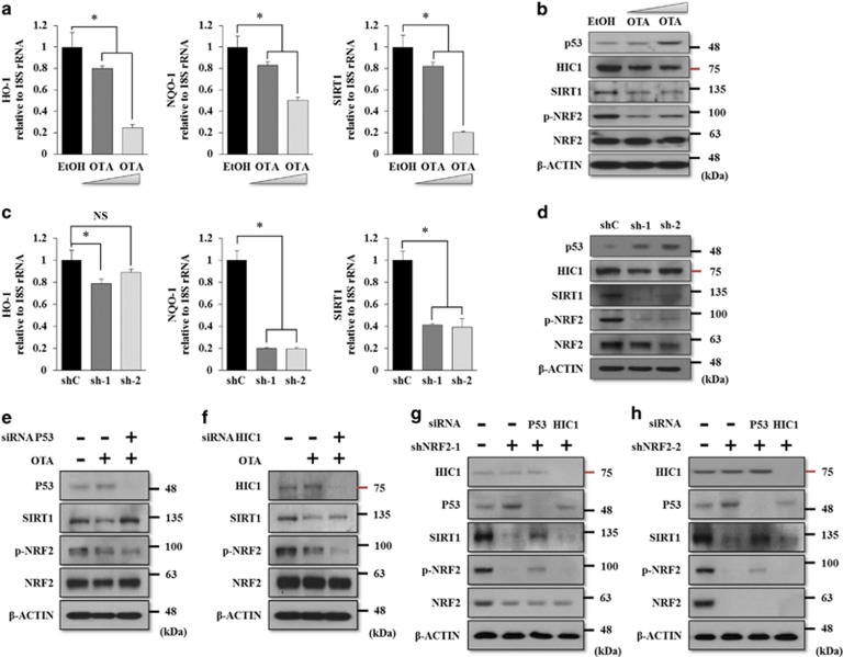 NRF2-mediated SIRT1 regulation occurs in a p53-dependent manner in EP MSCs. ( a ) EP MSCs were incubated in basal growth medium (DMEM-LG containing 10% FBS) in the presence of EtOH, 1 μ M OTA, and 10 μ M OTA for 16 h. The mRNA expression levels of HO-1 , NQO-1 , and SIRT1 were also analyzed by qRT-PCR. * P
