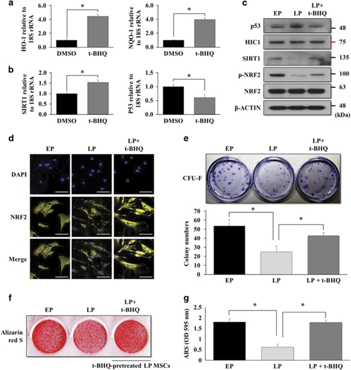 NRF2 activation by t-BHQ enhances the self-renewal capacity and osteogenic potential of LP MSCs. ( a ) LP MSCs were grown in basal growth medium (DMEM-LG containing 10% FBS) in the presence of t-BHQ (10 μ M) for 7 days. The mRNA expression levels of HO-1 , NQO-1 , ( b ) SIRT1 , and p53 were also analyzed by qRT-PCR. * P