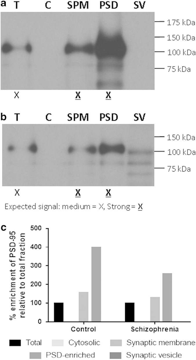 PSD-95 in tissue fractions from prefrontal cortex. Successful enrichment of the postsynaptic density (PSD) is indicated by the presence of increasing concentrations of PSD-95 in 1.5 μg of 'total fraction' (T), 'synaptic membrane fraction' (SPM) and 'PSD-enriched fraction' pooled samples ( a and b ). Quantification of band densities suggests greater enrichment of PSD-95 in control than in schizophrenia PSD-enriched samples ( c ). C, cytosolic fraction; SV, synaptic vesicle fraction.