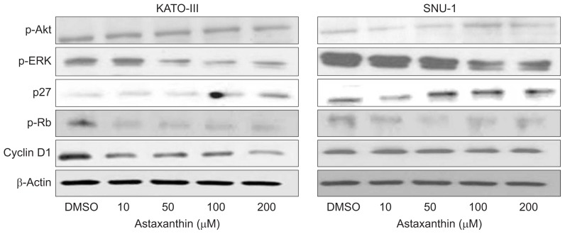 Effects of astaxanthin on the cell proliferative and cell cycle machinery profiles. KATO-III and SNU-1 cells were treated with and without astaxanthin (0, 10, 50, 100, and 200 μM) for 24 hours. Western blots showed decreased p-ERK at 50 and 100 μM in both cell lines. Nevertheless, the lack of effect of astaxanthin on the activation of p-Akt was observed in both cell lines. Astaxanthin upregulated p27 kip-1 in dose-dependent manners in both cell lines. The cyclin D1 and p-Rb protein levels were not affected by astaxanthin (each group for n=3 experiments). p-Akt, phospho-serine/threonine-specific protein kinase; p-ERK, phospho-extracellular signal-regulated kinase; p-Rb, phospho-retinoblastoma protein; DMSO, dissolved in dimethyl sulfoxide.
