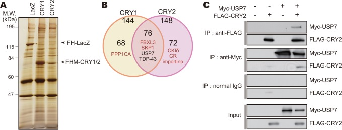 USP7 interacts with CRY proteins. A. Silver staining image of proteins co-purified with FLAG-His-Myc-CRY1 (FHM-CRY1) or FHM-CRY2. NIH3T3 cells expressing FHM-CRY1 or FHM-CRY2 were treated with 10 μM MG132 for 6 hours and lysed with IP Buffer. Cell lysates were subjected to immunoprecipitation using anti-FLAG-M2 agarose beads. FH-LacZ expressed in NIH3T3 cells was used as a control. B . The numbers of proteins co-purified with FHM-CRY1 or FHM-CRY2. Proteins co-purified with FH-LacZ were eliminated from the list of CRY1 and CRY2 interacting proteins. Proteins detected in both CRY1 and CRY2 samples with high MS scores were listed in S1 Table . C. Interaction of USP7 with CRY2 protein. NIH3T3 cells expressing FLAG-CRY2 and/or Myc-USP7 were cultured in the presence of 10 μM MG132 for 6 hours and lysed with IP Buffer. The cell lysates were subjected to immunoprecipitation using anti-FLAG, anti-Myc antibody or normal mouse IgG (negative control) as precipitating antibodies.