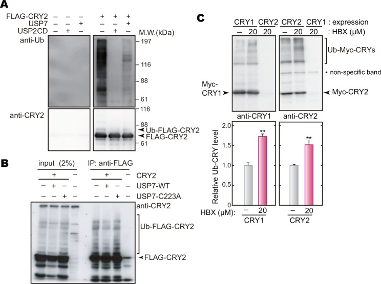 USP7 deubiquitinates CRY proteins. A . In vitro ubiquitination assay. HEK293T/17 cells were transfected with the expression vector of FLAG-CRY2. Forty-two hours after the transfection, the cells were cultured in the presence of 10 μM MG132 for 6 hours and then harvested. FLAG-CRY2 purified from the cell lysate with anti-FLAG M2 agarose beads was incubated with or without a recombinant protein, full-length USP7 or a catalytic domain of USP2 (USP2 CD), for 30 min at 37°C. Recombinant USP2 catalytic domain was used as a positive control [ 26 ]. B . In vivo deubiquitination assay in HEK293T/17 cells. The cells were transfected with indicated expression vectors. Forty-two hours after the transfection, the cells were cultured in the presence of 10 μM MG132 for 6 hours and then lysed with IP Buffer. FLAG-CRY2 was purified with anti-FLAG M2 agarose beads, followed by western blotting analysis with anti-CRY2 antibody. An inactive mutant of USP7 (USP7-C223A) was used for a negative control. C. Effect of USP7-specific inhibitor on CRY up-shifted bands. NIH3T3 cells were transfected with the expression vector for Myc-CRY1 or Myc-CRY2. Forty-two hours after the transfection, the cells were cultured in the presence of 20 μM HBX 41108 for 6 hours. The smear bands of Myc-CRY1 or Myc-CRY2 were quantified (means + SEM, n = 3, **: p