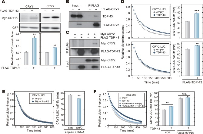 TDP-43 interacts with CRY proteins and stabilizes CRY proteins. A. Effect of TDP-43 expression on CRY protein levels. HEK293T/17 cells were transfected with expression vectors for Myc-CRY1, Myc-CRY2 and FLAG-TDP-43, and cultured for 48 hours. The cells were lysed with SDS-PAGE sample buffer, and the cell lysate was analyzed by western blotting. Quantified data are shown by means + SEM (n = 3, **: p