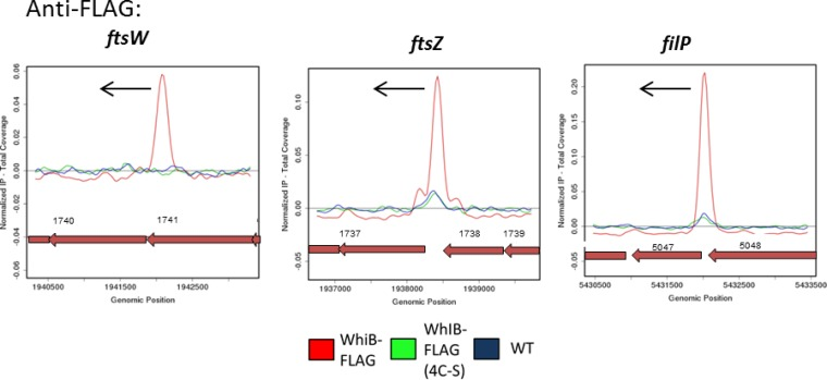 Mutation of the cysteine residues that coordinate the WhiB [4Fe-4S] cluster prevents DNA binding in vivo . Anti-FLAG ChIP-seq data for WhiB and WhiB (4C-S) are shown for three representative WhiA and WhiB target genes: ftsW , ftsZ , and filP . Color coding of the ChIP samples is as follows: 3×FLAG-[Gly 4 Ser] 3 -WhiB strain (WhiB-FLAG), red; 3×FLAG-[Gly 4 Ser] 3 -WhiB(4C-S) strain, green; corresponding S. venezuelae wild-type anti-FLAG negative control (WT), blue. Plots span approximately 3 kb of DNA sequence. Genes running right to left are shown in red. The black arrow indicates the gene subject to WhiA and WhiB regulation.
