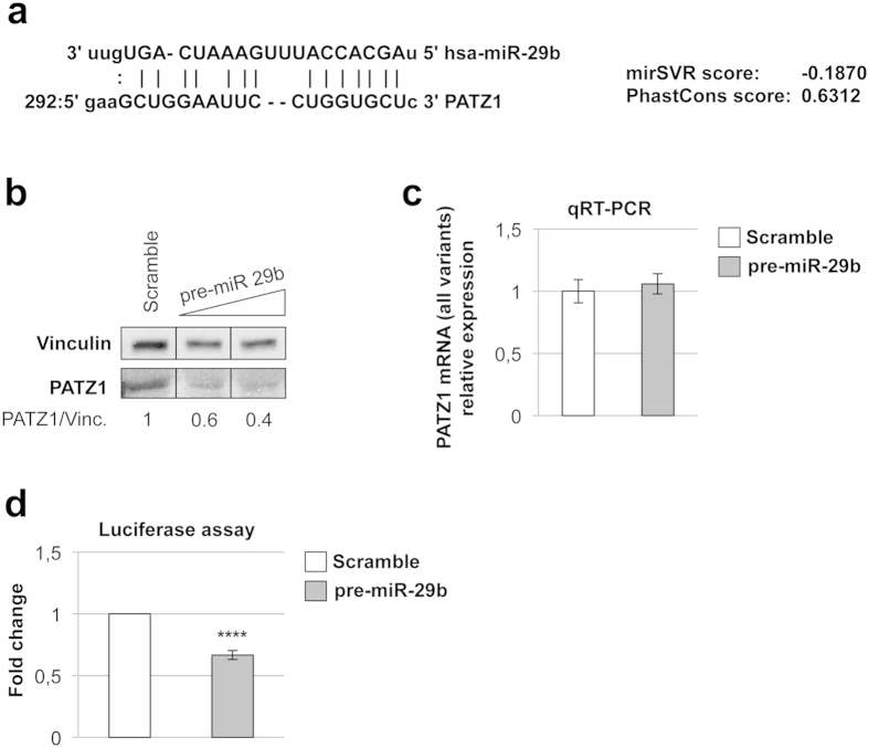 Validation of PATZ1 as a target of miR-29b. ( a ) predicted miR-29b/ PATZ1 alignment, according to microRNA.org web system. mirSVR (cutoff 0.1 or lower) and PhastCons (cutoff 0.57 or higher) are downregulation and conservation scores, respectively. ( b ) Western blot using anti-PATZ1 on HEK293 total cellular extracts collected 72 h after transfection with increasing amount (50–100 nM) of synthetic miR-29b precursor or scramble (100 nM) oligonucleotide. Vinculin was used for normalization. Relative expression levels, compared to scramble-transfected control and normalized with respect to vinculin, are indicated on the bottom. Black lines delineate the boundary between not contiguous lanes of the same gel. ( c ) qRT-PCR on total RNA from HEK293 cells previously transfected with 100 nM synthetic miR-29b precursor or scramble oligonucleotide. PATZ1 mRNA levels were normalized for endogenous G6PD levels. The mean ± SE of four independent experiments performed in duplicate is reported. ( d ) Luciferase assay on HEK293 cells co-transfected with the Luc-PATZ1-3′UTR and pCMV renilla reporter vectors along with 100 nM synthetic miR-29b precursor or scramble oligonucleotide. Relative firefly luciferase activity levels were normalized for renilla luciferase activity and analysed relatively to scramble-transfected cells, which were set to 1. The mean ± SE of four independent experiments performed in duplicate is reported. ****P