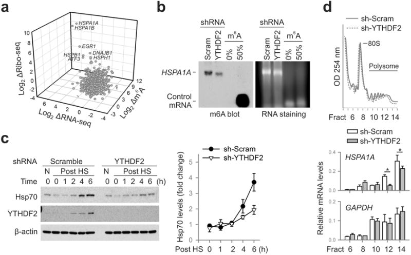 m 6 A modification promotes selective translation under heat shock stress a, A 3-D plot depicting fold changes (log 2 ) of mRNA abundance, CDS ribosome occupancy, and 5′UTR m 6 A levels in MEF cells after heat shock stress. b , m 6 A blotting of HSPA1A purified from MEF with or without YTHDF2 knockdown. mRNAs synthesized by in vitro transcription in the absence or presence of m 6 A were used as control. Representative of two biological replicates. c , Immunoblotting of MEF cells with or without YTHDF2 knockdown after heat shock stress (42°C, 1 h). N: no heat shock. The right panel shows the relative protein levels quantified by densitometry and normalized to β-actin. Representative of three biological replicates. d , MEF cells with or without YTHDF2 knockdown were subject to heat shock stress followed by sucrose gradient sedimentation. Specific mRNA levels in polysome fractions were measured by qPCR. The values are first normalized to the spike in control then to the total. Error bars, mean ± s.e.m.; * p