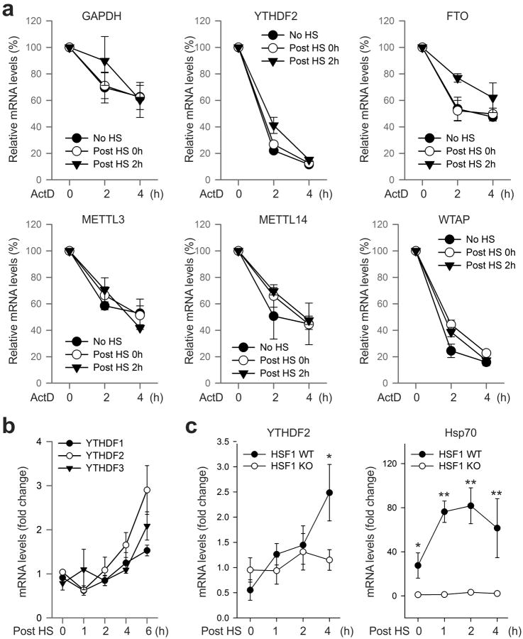mRNA stability and induction in response to heat shock stress a, Effects of heat shock stress on mRNA stability. MEF cells without heat shock stress (No HS), immediately after heat shock stress (42°C, 1 h) (Post HS 0h), or 2 h recovery at 37°C (Post HS 2h) were subject to further incubation in the presence of 5 μg/ml ActD. At the indicated times, mRNA levels were determined by qPCR. Error bars, mean ± s.e.m. n=3. b , MEF cells were collected at indicated times after heat shock stress (42°C, 1 h) followed by RNA extraction and real-time PCR. Relative levels of indicated transcripts are normalized to β-actin. Error bars, mean ± s.e.m. n=3, biological replicates. c , HSF1 WT and KO cells were subject to heat shock stress (42°C, 1 h) followed by recovery at 37°C for various times. Real-time PCR was conducted to quantify transcripts encoding Hsp70 and YTHDF2. Relative levels of transcripts are normalized to β-actin. Error bars, mean ± s.e.m. *, p