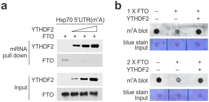 Direct competition between YTHDF2 and FTO in m 6 A binding a, Synthesized mRNA with m 6 A was incubated with FTO (2 μg) in the presence of increasing amount of YTHDF2 (0, 0.5, 1, 2 μg), followed by RNA pulldown and immunoblotting. b , Synthesized mRNA with m 6 A was incubated with FTO (1 μg in top panel and 2 μg in bottom panel) in the absence of presence of YTHDF2 (4 μg), followed by m 6 A dot blotting.