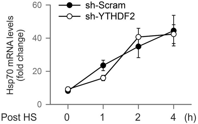 YTHDF2 knockdown does not affect Hsp70 transcription after stress MEF cells with or without YTHDF2 knockdown were subject to heat shock stress (42°C, 1 h) followed by recovery at 37°C for various times. Real-time PCR was conducted to quantify Hsp70 mRNA levels. Error bars, mean ± s.e.m.; n=3, biological replicates.