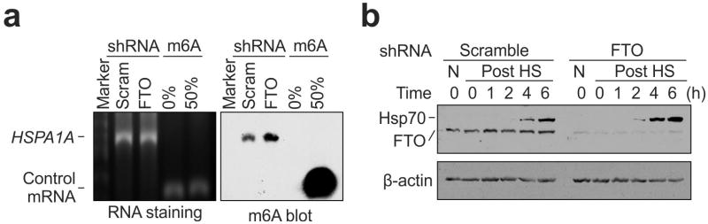 FTO knockdown promotes Hsp70 synthesis a, m 6 A blotting of purified HSPA1A in MEF with or without FTO knockdown. mRNAs synthesized by in vitro transcription in the absence or presence of m 6 A were used as control. RNA staining is shown as loading control. Representative of two biological replicates. b , MEF cells with or without FTO knockdown were collected at indicated times after heat shock stress (42°C, 1 h) followed by immunoblotting using antibodies indicated. N: no heat shock. Representative of three biological replicates.