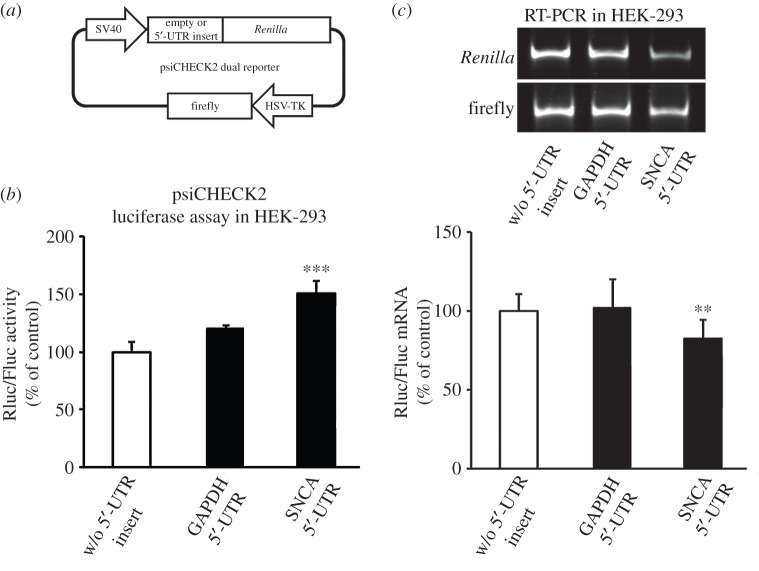 The SNCA 5′-UTR enhances luciferase reporter activity. ( a ) Schematic of the psiCHECK2 bicistronic expression constructs. The SNCA and GAPDH 5′-UTR cDNAs were inserted upstream of Renilla luciferase gene in the psiCHECK2 dual reporter vector. ( b,c ) Empty (no insert) control plasmid and plasmids containing the SNCA or GAPDH 5′-UTR were transiently transfected into HEK-293 cells. Forty-eight hours later, cells were harvested and dual luciferase assays was performed by sequentially measuring the firefly and Renilla luciferase activities of the same sample, with the results expressed as the ratio of Renilla to firefly (Rluc/Fluc) activity. Relative mRNA levels were determined by real-time RT-PCR. The results are expressed as the ratio of Renilla to firefly expression. Note that only the psiCHECK2 construct that incorporates the SNCA 5′-UTR induced luciferase protein levels. The figures represent averages and standard errors of four independent experiments. * p