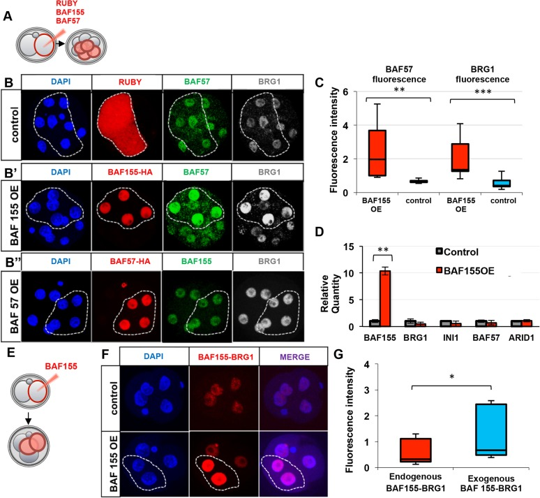 Upregulation of BAF155 causes upregulation of BAF complex components. (A) HA-tagged human BAF155 , mouse Baf57 or Ruby mRNAs were injected into one blastomere at the 2-cell stage and analysed at the 8-cell stage. (B-B″) Clonal overexpression of BAF155 results in the upregulation of protein levels of the complex subunits (B′), whereas overexpression of Ruby (B) or BAF57 (B″) does not. (C) The protein levels of BAF57 and BRG1 upon BAF155 overexpression (OE) were upregulated by ∼3-fold. (D) qRT-PCR analysis of transcripts for key components of the BAF complex 24 h after BAF155 OE. INI1 refers to Baf47 ( Smarcb1 ). (E) HA-tagged BAF155 mRNA was injected into one blastomere at the 2-cell stage and analysed at the 4-cell stage by PLA. (F) Clonal BAF155 OE caused an increase in BAF155-BRG1 interaction in the injected clones (dashed outline). (G) Overexpression of exogenous BAF155 resulted in 2-fold upregulation of BAF155-BRG1 contact. Error bars represent s.d. * P