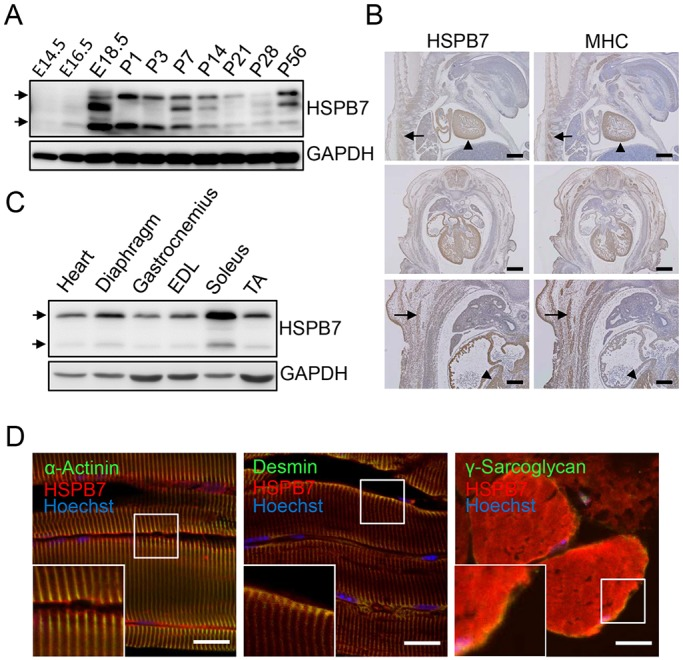 Expression and localization of HSPB7 in skeletal muscle. (A) Western blot analysis of calf muscle showing HSPB7 expression from embryonic stages to adulthood (E14.5 to P56). (B) Immunohistochemical analysis of HSPB7 and MHC expression at E13.5 (arrows, muscle tissue; arrowheads, heart). (C) Western blot analysis of HSPB7 expression in the heart and various skeletal muscles. GAPDH was used as loading control. EDL, extensor digitorum longorum; TA, tibialis anterior. (D) Subcellular localization of HSPB7 in the soleus muscle of adult mice. The muscle sections were co-immunostained with antibodies against HSPB7 (red) and desmin (green), sarcomeric α-actinin (green) or γ-sarcoglycan (green). The nucleus was visualized by Hoechst 33342 staining. The arrows in A and C represent the expression of HSPB7. Scale bars: 500 μm (B, upper and middle panel); 200 μm (B, lower panel); 10 μm (D).
