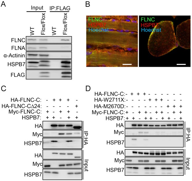 HSPB7 interacts and colocalizes with FLNC. (A) Diaphragm muscle from adult Hspb7 Flox/Flox and wild-type (WT) mice was lysed and incubated with anti-FLAG M2 affinity gel for co-immunoprecipitation (IP) of proteins binding to HSPB7, and analyzed by western blotting. (B) The colocalization of HSPB7 and FLNC was assessed by confocal microscopy. The muscle sections were co-immunostained with antibodies against HSPB7 (red) and FLNC (green). The nucleus was visualized by Hoechst 33342 staining. (C) A construct of FLNC lacking the dimerization region (HA–FLNC-CΔ24) was overexpressed in HEK293T cells. The domains mediating interaction between HSPB7 and FLNC were assessed through co-immunoprecipitation in vitro . (D) The dimerization region deletion and mutations of FLNC-C (HA–W2711X and HA–M2670D) were overexpressed in HEK293T cells. The domains mediating interaction between HSPB7 and FLNC were assessed through co-immunoprecipitation in vitro . Scale bars: 10 μm.