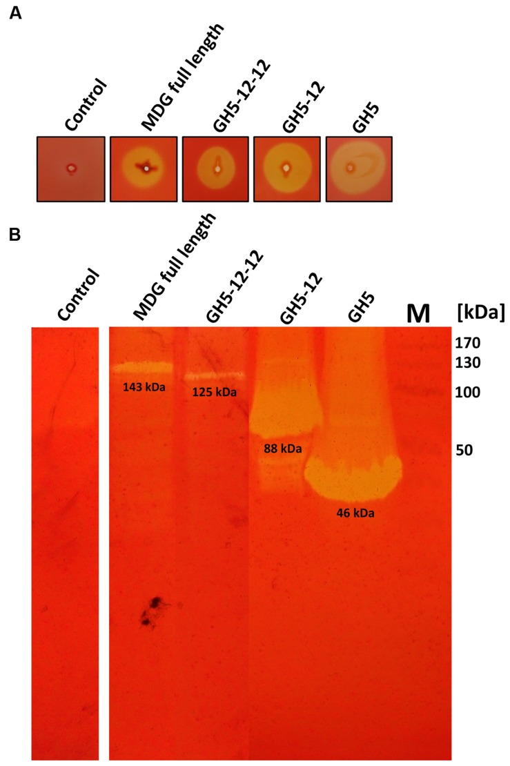 Cellulolytic activities of full length and truncated MDG proteins. Hydrolytic activities were analyzed on CMC-agar-plates (A) and in CMC-zymogram gels (B) . For CMC screening plates 10 μL (5–10 μg of total protein after heat precipitation at 60°C) and for zymogram gels 20 μL (3 μg of protein after heat precipitation at 60°C (GH5 and GH5-12) or 2 μg of solubilized membrane fraction (GH5-12-12 and MDG full length)) were applied. As negative control, crude extract of E. coli BL21 (DE3) pRIL with vector pET24a without insert was used. Marker, M (B) : prestained protein standard (Fermentas), GH5 (∼46 kDa) and GH5-12 (∼88 kDa), GH5-12-12 (∼125 kDa) and MDG full length (∼143 kDa).