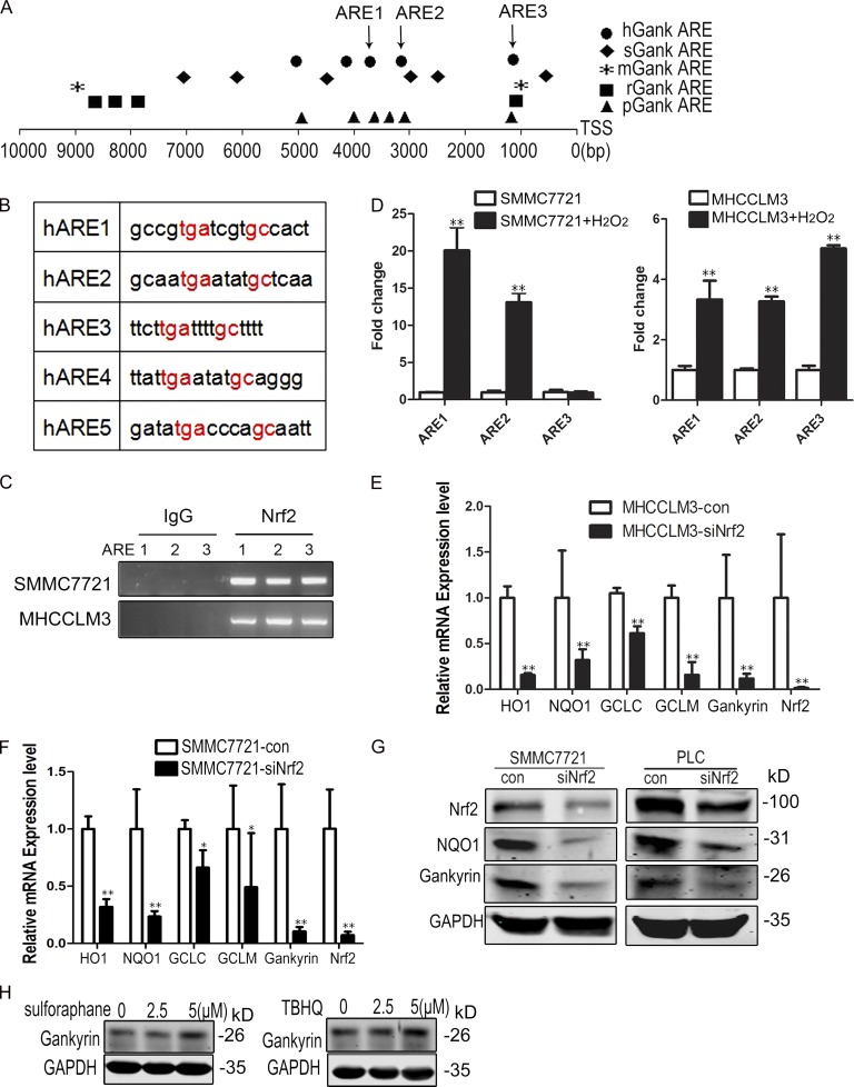 Nrf2 promotes gankyrin transcription. (A) Schematic representation of gankyrin promoters in humans ( Homo species , hGank), pigs ( Sus scrofa , sGank), mice ( Mus musculus , mGank), rats ( Rattus norvegicus , rGank), and chimpanzees ( Pan troglodytes , pGank). Different symbols represent Nrf2 binding sites (ARE) in different species. TSS, transcriptional start site. (B) ARE regions and adjacent sequences in the gankyrin promoter. (C) SMMC7721 and MHCC-LM3 cells were fixed and sheered; cross-linked chromatin was prepared as described in the Materials and methods. The chromatin was precipitated using control (IgG) or Nrf2-specific antibodies (Nrf2). PCR analysis was performed using primers for ARE1, ARE2, and ARE3. The data shown are representative of three independent experiments. (D) Oxidative stress increases the binding of Nrf2 to the AREs of the gankyrin promoter. SMMC7721 and MHCCLM3 cells were treated with PBS or 0.5 mM H 2 O 2 for 5 h, and chromatin immunoprecipitation was performed using Nrf2-specific antibodies. DNA isolated from the precipitated materials was analyzed using qPCR with the indicated primers. The ARE-specific signals from Nrf2-precipitated DNA were normalized to those from IgG-precipitated DNA. The data shown are means ± SEM of triplicate wells. (E and F) qRT-PCR analysis was performed for gankyrin and target genes of Nrf2 in PLC/RPF/5-con and PLC/RPF/5-siNrf2 or SMMC7721-con and SMMC7721-siNrf2 cells. Data represent the mean ± SEM of triplicates from an experiment that was repeated a total of three times with similar results. *, P