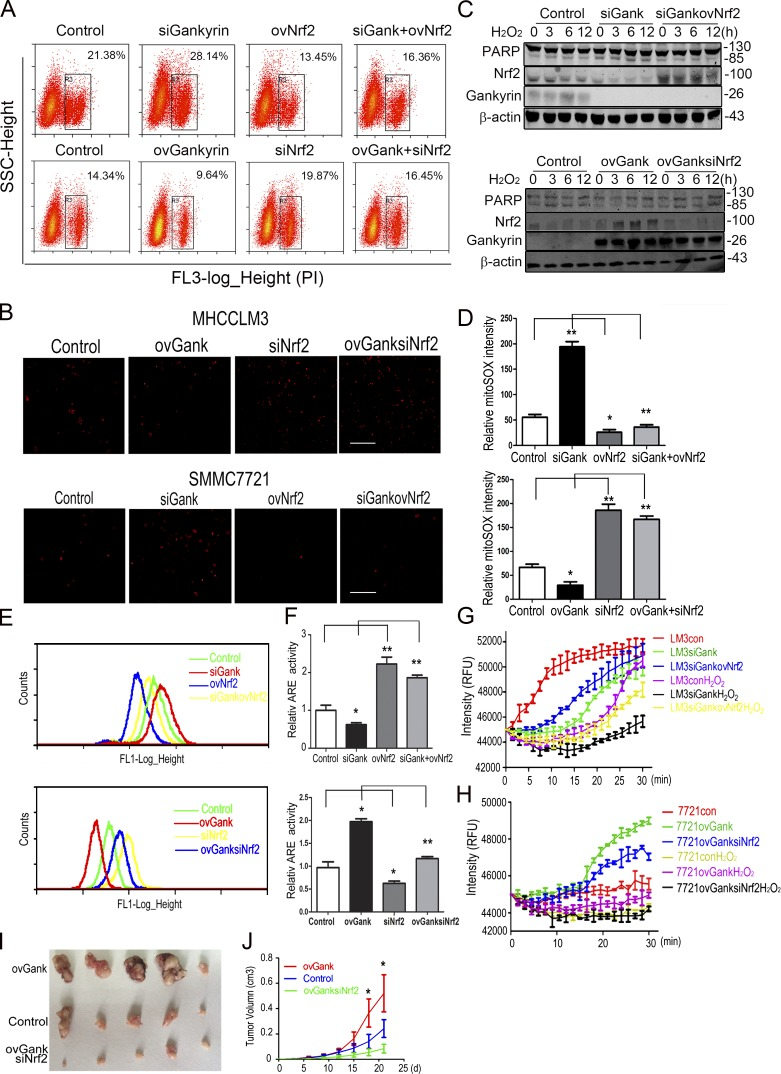 Nrf2 and gankyrin cooperatively provide HCC cells with increased antioxidative stress capacity. (A) MHCCLM3-con, MHCCLM3-siGank, MHCCLM3-ovNrf2, and MHCCLM3-siGankovNrf2 or SMMC7721-con, SMMC7721-ovGank, SMMC7721-siNrf2, and SMMC7721-ovGanksiNrf2 cells were treated with 0.5 mM H 2 O 2 for 5 h and stained with PI for 15 min. Flow cytometry assays were performed to evaluate the level of apoptosis in HCC cells. Representative results from three experiments are shown. (B) Fluorescence microscopy showed the levels of cell death in MHCCLM3-con, MHCCLM3-siGank, MHCCLM3-ovNrf2, MHCCLM3-siGankovNrf2 (top), SMMC7721-con, SMMC7721-ovGank, SMMC7721-siNrf2, and SMMC7721-ovGanksiNrf2 (bottom) cells. Cells were treated with 0.5 mM H 2 O 2 for 5 h and stained with PI for 15 min. Representative results from three experiments are shown. Bar, 100 µM. (C) Levels of cleaved PARP were evaluated in MHCCLM3-con, MHCCLM3-siGank, and MHCCLM3-siGankovNrf2 cells (top) or SMMC7721-con, SMMC7721-ovGank, and SMMC7721-ovGanksiNrf2 cells treated with 0.5 mM H 2 O 2 for the indicated time. Representative results from three experiments are shown. (D) Quantification of the mitoSOX levels in MHCCLM3-con, MHCCLM3-siGank, MHCCLM3-ovNrf2, MHCCLM3-siGankovNrf2, SMMC7721-con, SMMC7721-ovGank, SMMC7721-siNrf2, and SMMC7721-ovGanksiNrf2 cells. The data represent the mean ± SEM of triplicates from an experiment that was repeated a total of three times with similar results. (E) Flow cytometry analyses were performed on MHCCLM3-con, MHCCLM3-siGank, MHCCLM3-ovNrf2, MHCCLM3-siGankovNrf2, and SMMC7721-con, SMMC7721-ovGank, SMMC7721-siNrf2, and SMMC7721-ovGanksiNrf2 cells to detect the levels of ROS. Representative results from three experiments are shown. (F) HCC cells were transiently transfected with an ARE luciferase reporter vector or the control plasmid pRL-TK for 48 h. The cells were then harvested, and the reporter activities were detected. The data represent the mean ± SEM of triplicates from an experiment 