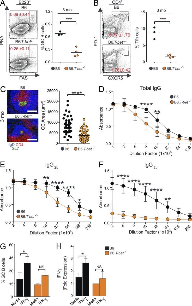 Critical role of T-bet in Spt-GC development and Th1 Ab responses. (A and B) Percentages of B220 + Fas hi PNA hi GC B cells (A) and CD4 + CXCR5 hi PD-1 hi Tfh cells (B) obtained from flow cytometric analysis of spleen cells of 3-mo-old B6 and B6. T-bet −/− mice. Each symbol represents a mouse ( n = 3–4). (C) Representative images of spleen sections from 3-mo-old B6 and B6. T-bet −/− mice stained with GL7, anti-CD4, and anti-IgD. GC area measurement is shown in the right panel ( n = 3–4 mice per group). Bars, 150 µm. (D–F) Total serum Ab titers of IgG (D), IgG 2b (E), and IgG 2c (F) measured by ELISA ( n = 3–4 per group). (G) Maintenance of ex vivo–generated GC B cell phenotype of B6 and B6. T-bet −/− mice in media alone or with IFN-γ. (H) Quantitative RT-PCR analysis of IFN-γ transcripts in ex vivo–generated GC B cells (as described in G) from B6 and B6. T-bet −/− mice ( n = 3–4 mice per group). The data shown in G and H are representative of three independent experiments. In D–F, statistical analysis was performed by one-way ANOVA with a follow-up Tukey multiple-comparison test. In A–C, G, and H, statistical values were determined using an unpaired, nonparametric, Mann–Whitney Student's t test. Error bars are mean ± SD. *, P