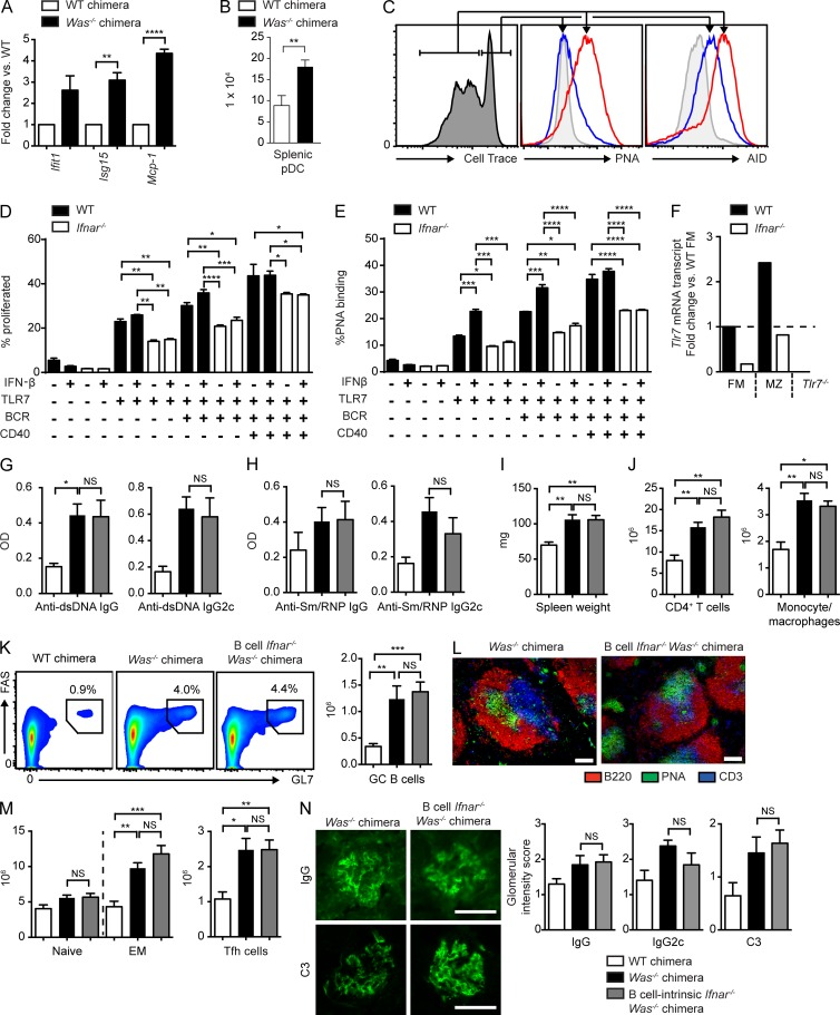 B cell–intrinsic IFNAR signals are not required for the development of humoral autoimmunity. (A) IFN-stimulated gene mRNA transcripts (fold change vs. WT chimera) in splenocytes from two or more independent chimeras. (B) Total splenic plasmacytoid DCs (pDCs) in WT ( n = 5) and Was −/− ( n = 9) mice from three independent chimeras. (C) Representative histograms. (Left) Gating of proliferated versus unproliferated subsets (assessed by Cell Trace dilution) in WT B cells stimulated with anti-IgM, R848, and IFN-β. (Middle) Relative surface PNA binding. (Right) AID expression in proliferated (red) versus unproliferated (blue) B cells. The gray histogram indicates unstimulated B cells. (D and E) Proliferation (D) and PNA binding (E) in splenic WT and Ifnar −/− B cells stimulated with the indicated combinations of anti-IgM, R848, anti-CD40, and IFN-β. (F) Tlr7 mRNA transcripts in sorted WT versus Ifnar −/− follicular mature (FM) and marginal zone (MZ) B cells (fold change vs. WT FM; Tlr7 −/− is shown as a negative control). (G and H) Anti-dsDNA (G) and anti-Sm/RNP (H) IgG and IgG2c auto-Ab in WT (white), Was −/− (black), and B cell Ifnar −/− Was −/− (gray) chimeras at 12 (G) and 24 (H) wk after transplantation. (I) Spleen weights. (J) Splenic CD4 + T cells and CD11b + GR1 lo monocytes/macrophages. (K) Representative FACS plots (left) and total number (right) of splenic PNA + FAS + GC B cells. (L) Representative splenic sections stained with B220, PNA, and CD3. (M) Number of splenic naive (CD44 LO CD62L HI ) and EM (CD44 HI CD62L LO/HI ) CD4 + T cells and PD1 + CXCR5 + Tfh cells. (N, left) Representative glomerular IF staining. (Right) Intensity of glomerular IgG, IgG2c, and C3 staining scored from 0 to 3 by two independent blinded observers. (A, B, and G–N) Data are representative of four independent WT ( n = 7), Was −/− ( n = 18), and B cell Ifnar −/− Was −/− ( n = 19) chimeras sacrificed at 24 wk after transplantation. (C–F) Data are representative of two or more independ