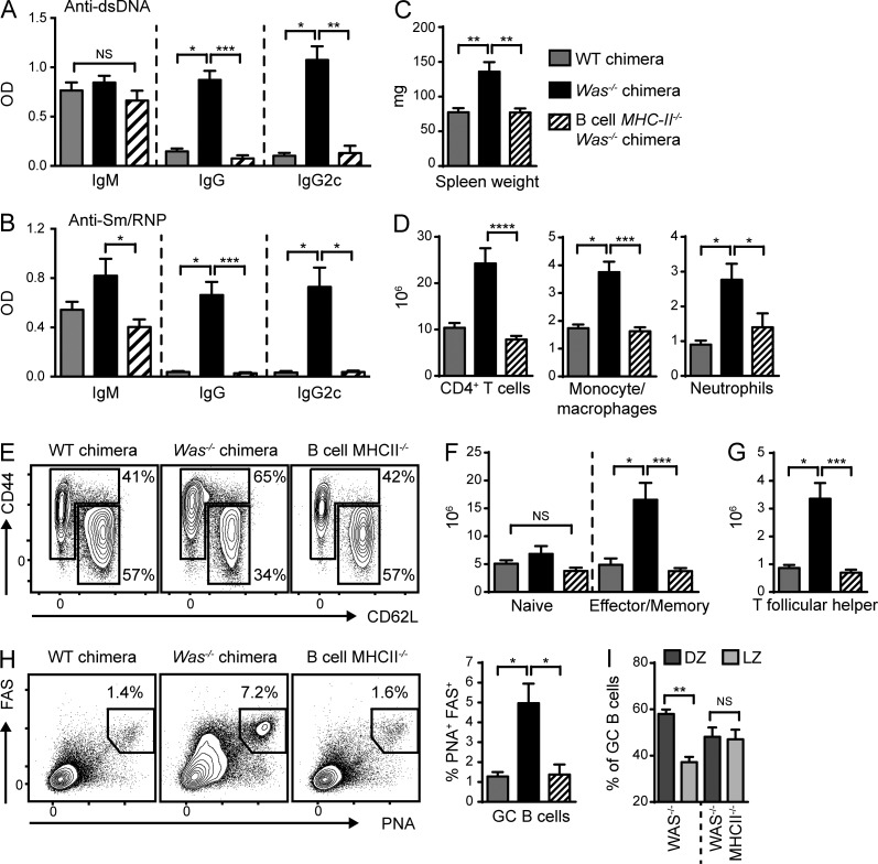 B cell antigen presentation initiates systemic autoimmunity. (A and B) Anti-dsDNA (A) and anti-Sm/RNP (B) IgM, IgG, and IgG2c auto-Abs at 12 (A) and 24 (B) wk after transplantation. (C and D) Spleen weight (C) and the number of splenic CD4 + T cells, CD11b + GR1 lo monocytes/macrophages, and CD11b + GR1 + neutrophils (D). (E) Representative FACS plots (gated on CD4 + T cells) showing naive (CD44 LO CD62L HI ) and EM (CD44 HI CD62L LO/HI ) CD4 + T cells. Numbers indicate the percentages within the CD44 LO CD62L HI and CD44 HI CD62L LO/HI gates. (F and G) Number of naive and EM CD4 + T cells (F) and PD1 + CXCR5 + Tfh cells (G). (H) Representative FACS plots (gated on B220 + ) and percentage of splenic PNA + FAS + GC B cells. (I) Proportion of PNA + FAS + GC B cells within the DZ (CXCR4 hi CD86 lo ) and light zone (LZ; CXCR4 lo CD86 hi ). Data are representative of two independent WT ( n = 6), Was −/− ( n = 8), and B cell MHCII −/− .Was −/− ( n = 8) chimeras. Error bars indicate SEM. *, P