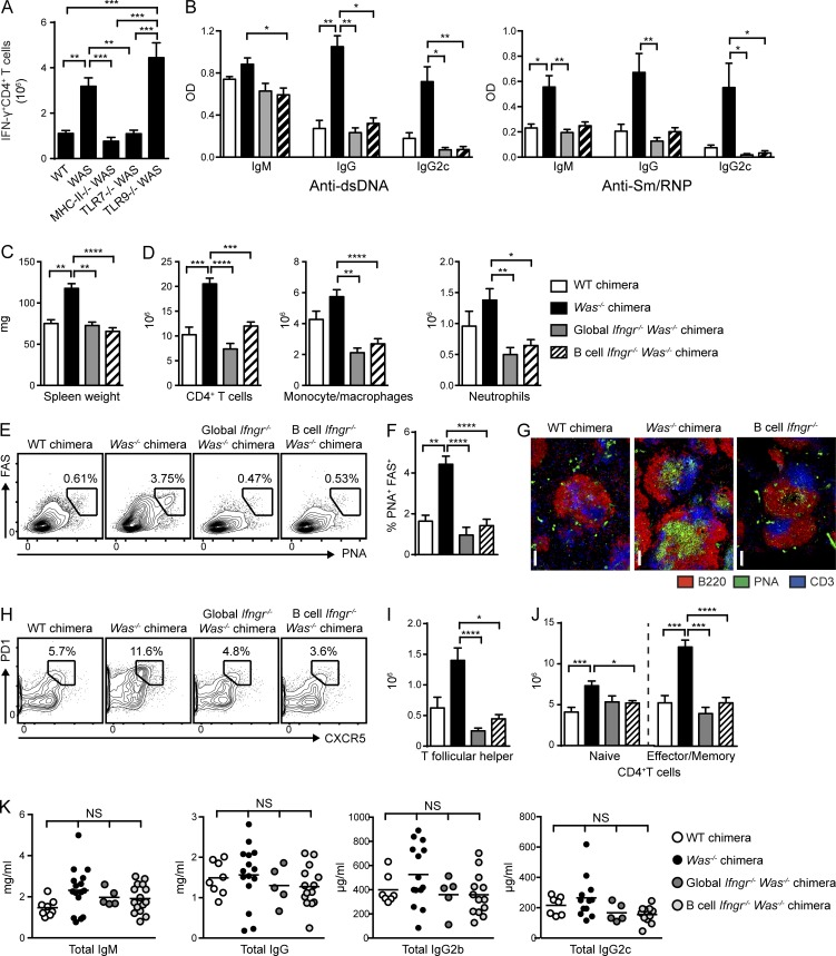 B cell–intrinsic IFN-γR signals promote spontaneous autoimmune GCs. (A) Number of IFN-γ + CD4 + T cells in WT, Was −/− , and B cell–intrinsic Tlr7 −/− , Tlr9 −/− , and MhcII −/− chimeras. (B) Anti-dsDNA and anti-Sm/RNP IgM, IgG, and IgG2c auto-Abs (12 wk after transplantation) in WT and Was −/− chimeras as well as Was −/− chimeras with global or B cell–intrinsic deletion of IFN-γR. (C) Spleen weight. (D) Number of splenic CD4 + T cells, CD11b + GR1 lo monocyte/macrophages, and CD11b + GR1 + neutrophils. (E and F) Representative FACS plots (E; gated on CD19 + ) and percentage (F) of splenic PNA + FAS + GC B cells. (G) Representative splenic sections stained with B220, PNA, and CD3. Bars, 100 µm. (H and I) Representative FACS plots (H; gated on CD4 + ) and number (I) of splenic PD1 + CXCR5 + Tfh cells. (J) Number of naive (CD44 LO CD62L HI ) and EM (CD44 HI CD62L LO/HI ) CD4 + T cells. (K) Total serum IgM, IgG, IgG2b, and IgG2c titers in the indicated chimeras. Data are representative of five WT ( n = 10), five Was −/− ( n = 18), two global Ifngr −/− Was −/− ( n = 10), and four B cell–intrinsic Ifngr −/− Was −/− ( n = 13) chimeras, as well as three Was −/− .Tlr7 −/− ( n = 14), three Was −/− .Tlr9 −/− ( n = 15), and two Was −/− .MhcII −/− ( n = 8) chimeras sacrificed at 24 wk after transplantation. Error bars indicate SEM. *, P