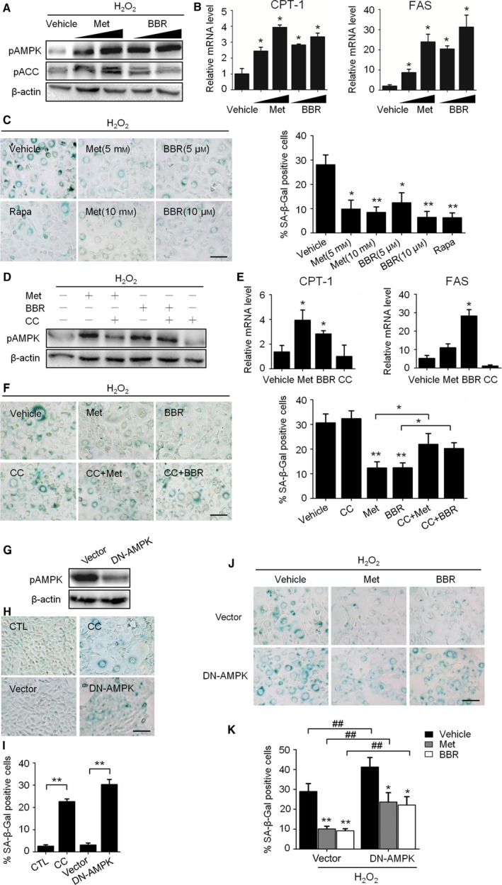 Activation of AMPK prevented H 2 O 2 ‐induced senescence. A to D: H 2 O 2 ‐treated NIH 3T3 cells were incubated in complete medium with metformin (Met, 5 to 10 mM ) or berberine ( BBR , 5 to 10 μM) for 3 days. (A) Representative images from immunoblot assays against pAMPK α (Thr172), AMPK α1, pACC (Ser79), and β‐actin. (B) Relative fold‐changes in mRNA levels of CPT ‐1 and FAS as determined by qRT ‐ PCR . (C) Representative images of SA ‐β‐Gal staining of cells (left), and percentages of SA ‐β‐Gal‐positive cells. D‐F: NIH 3T3 cells were treated with H 2 O 2 and incubated with Met (10 mM ), BBR (10 μM) and an AMPK inhibitor, Compound C ( CC , 10 μM), alone or in combination for 3 days. (D) Representative images from immunoblot assays. (E) Relative mRNA levels of CPT ‐1 and FAS as determined by qRT ‐ PCR . (F) Representative images of SA ‐β‐Gal staining of cells (left) and percentages of SA ‐β‐Gal‐positive cells (right). G‐I: NIH 3T3 cells without H 2 O 2 treatment were used. (G) The decrease in AMPK activity in DN ‐ AMPK ‐expressing NIH 3T3 cells was shown by the decrease in AMPK α phosphorylation. (H) Representative images of SA ‐β‐Gal staining of the nontransfected cells with or without CC (upper) and cells transfection with DN ‐ AMPK (lower). (I) The percentages of SA ‐β‐Gal‐positive cells were calculated based on the images represented in H. (J) H 2 O 2 ‐treated cells incubated with or without Met (10 mM ) or BBR (10 μM) for 3 days, representative images of SA ‐β‐Gal staining of cells transfected with empty vector (upper) or DN ‐ AMPK (lower). (K) The percentages of SA ‐β‐Gal‐positive cells were calculated based on the images presented in J. * P