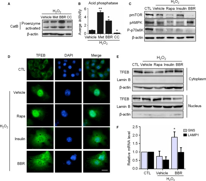 AMPK restored the autophagic flux associated with the amelioration of lysosomal function, mTOR inactivation, but not the nuclear translocation of TFEB . A‐C: H 2 O 2 ‐treated NIH 3T3 cells were incubated in complete medium with different reagents for 3 days as indicated. (A) Representative images from immunoblot assays against Cathepsin B protein. (B) The acid phosphatase activity in cells. (C) Representative images from immunoblot assays against phosphorylated mTOR (pm TOR , Ser2448), phosphorylated 70S6K (P‐p70S6K, Thr389), pAMPK (Thr172), and β‐actin. (D) Immunofluorescent images of TFEB after treatment with indicated reagents. The bar represents 20 μm. (E) Immunoblot assays against TFEB protein of total cytoplasmic and nuclear subcellular fractions obtained from NIH 3T3 cells with the indicated treatment. (F) Relative fold‐changes in mRNA levels of two TFEB target genes ( GNS and LAMP ‐1 ) were monitored by qRT ‐ PCR assays.* P
