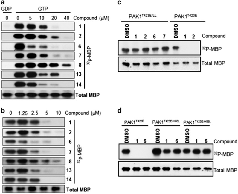 Suppression of PAK1 activity by p21-binding domain (PBD) binders in vitro . ( a ) Inhibition of Cdc42-dependent PAK1 activation. Cdc42•GTP, Wt-PAK1, myelin basic protein (MBP) and [γ- 32 P]-ATP were incubated with various concentrations of the indicated compounds for 0.5 h. Immunoblotting of total MBP was performed as a loading control. ( b ) Direct inhibition of PAK1 activity by compounds in vitro . Active PAK1 T423E , MBP and [γ- 32 P]-ATP were incubated with various concentrations of the indicated compounds for 0.5 h. Immunoblotting of total MBP was performed as a loading control. ( c ) Full-length PAK1 T423E/LL or PAK1 T423E was incubated with MBP and [γ- 32 P]-ATP in the presence of dimethylsulphoxide (control) or the indicated compounds (40 μ M ) for 0.5 h. LL, H83L/H86L. ( d ) Activity of full-length PAK1 T423E or a single-substitution mutant was measured in the absence or presence of compounds as described in c . In all experiments, MBP phosphorylation was analyzed by autoradiography. All data are representative of at least three independent experiments.