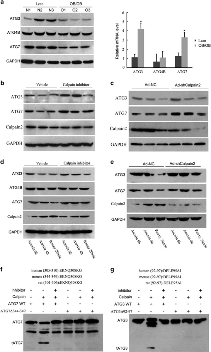 Calpain 2 degrades Atg3 and Atg7. ( a ) Lean and ob/ob mice were subjected to 1 h of ischemia and 6 h of reperfusion. The expression of liver autophagy-related proteins Atg3, Atg4B and Atg7 were compared by western blotting (left, n =3). The abundance of Atg3, Atg4B and Atg7 mRNAs were determined by RT-qPCR (right, n =3). ( b and c ) Ob/ob mice were pretreated with calpain inhibitor III (10 mg/kg) or vehicle DMSO for 6 h ( b ), or ob/ob mice were transduced with Ad-shCalpain2 or control virus (Ad-NC; 2 × 10 11 vp/mice) for 7 days, respectively ( c ), and then subjected to 1-h ischemia and 6 h of reperfusion. Liver Atg3, Atg7 and calpain 2 expression levels at each group were determined by western blotting. Quantification of relative protein level is shown in Supplementary Figures 6a and b . ( d ) Hepatocytes isolated from ob/ob mice were subjected to 4 h of anoxia and 20 min of reoxygenation in the presence or absence of calpain inhibitor III (25 μ M) pretreatment for 1 h. Atg3, Atg4B, Atg7 and Calpian 2 expression levels were determined by western blotting at indicated time points. ( e ) Hepatocytes isolated from ob/ob mice infected with Ad-shCalpain2 or control virus (Ad-NC) for 48 h and then subjected to 4 h of anoxia and 20 min of reoxygenation. Western blotting of the relative protein level is shown. Quantification of the relative protein level of ( d ) and ( e ) is shown in Supplementary Figures 6c and d . ( f and g ) For the in vitro calpain cleavage assay, wild-type Atg7 or Atg7 mutant at the 344–349 amino acid ( f ), Atg3 or Atg3 mutant at the 92–97 amino acid ( g ) recombinant proteins that translated by TnT Translation System, were incubated with recombinant calpain in the presence or absence of 25 μ M calpain inhibitor III at 30 °C for 10 min. Then the reaction was terminated and subjected to western blot. * P