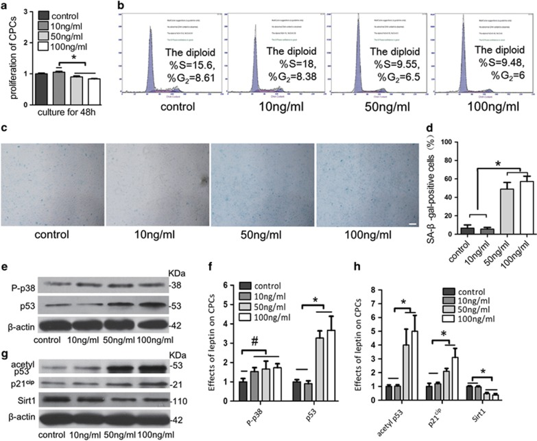 The activation of the p53/p21 pathway and the inhibition of the Sirt1 pathway promoted cell cycle arrest and senescence in CPCs that were treated with high doses of leptin. ( a ) CPCs were treated with leptin (0 ng/ml as the control or 10, 50 or 100 ng/ml) for 48 h. Compared with the control, high doses of leptin inhibited the proliferation of CPCs by CCK-8 assay. ( b ) Flow cytometry verified that the high doses of leptin induce CPCs cycle arrest by inhibiting the G 1 –S phase. ( c and d ) Staining for cell senescence. CPCs were treated with leptin (0 ng/ml as control, 10, 50 and 100 ng/ml) for 48 h, and the cells were then observed using light microscopy (× 40). Scale bar, 100 μ m. The percentage of CPCs that positively stained for SA- β -Gal was counted in five visual fields. High doses of leptin induced senescence in CPCs. ( e and f ) P-p38 and p53 expression were detected in CPCs grown in the presence of leptin (0 ng/ml as the control or 10, 50 or 100 ng/ml) for 2 days. Relative protein abundance of each blot was normalized to the grey value of β -actin. ( g and h ) Acetylp53, p21 and Sirt1 expression were detected in CPCs grown in the presence of leptin (0 ng/ml as the control or 10, 50 or 100 ng/ml) for 2 days. Relative protein abundance of each blot was normalized to the grey value of β -actin. Western blot analysis verified that the p53/p21 pathway was significantly activated and that the Sirt1 pathway was inhibited in CPCs that were treated with high doses of leptin. Error bars represent the mean±S.D. * P