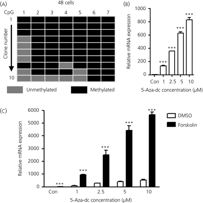 Demethylation of the Avp promoter dramatically increases Avp transcription in hypothalamic 4B cells. ( a ) Tile diagram showing the methylation status of CpG (cytosine‐phosphate‐guanine) sites for individual clones of the Avp promoter from the hypothalamic 4B cells. ( b ) Treatment of hypothalamic 4B cells with DNA methyltransferase inhibitor 5‐Aza‐dc (1–10 μ m ) increases Avp synthesis. ( c ) Forskolin (10 μ m ) induced Avp synthesis was further enhanced by 5‐Aza treatment. Error bars indicate the mean ± SEM (n = 4 per group). ***P