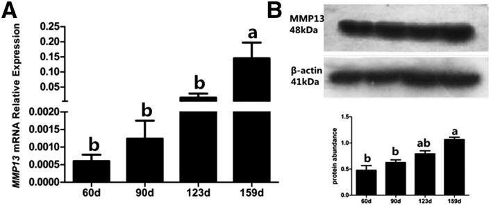 Expression of MMP13 in ovaries from 60-, 90-, 123-, and 159-d-old hens. (A) Messenger <t>RNA</t> expression of MMP13 was analyzed by real-time <t>PCR.</t> (B) Expression of MMP13 protein was analyzed by Western blot analysis. A band of approximately 48 kDa corresponding to the molecular mass of MMP13 was detected. β-actin (41 kDa) was used as the loading control. Data are presented as mean ± SEM from at least four independent experiments. Bars with different superscript letters are significantly different ( P