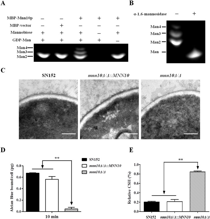 Mnn10 has mannosyltransferase activity and is required for α-1,6-mannose backbone length. (A) Mannosyltransferase activity assay of Mnn10. The reaction of expressed MBP-fused Mnn10 protein or MBP protein incubated with α-1,6-mannobiose (Man 2), GDP-mannose (GDP-Man) or controls. The reaction products were labeled with ANTS and separated by fluorophore-assisted carbohydrate gel electrophoresis (FACE). Man 3, mannotriose; Man 4, mannotetraose. (B) α-1,6-mannose assay. The reaction products of (A) were treated with or without α-1,6-mannosidase treatment, and then subjected to FACE. (C) Representative cell wall ultrastructures of SN152, mnn10Δ/Δ :: MNN10 and mnn10Δ/Δ strains were observed by transmission electron microscopy. The scale bar represents 0.2 μm. (D) Alcian Blue binding assay. The cells were incubated with Alcian Blue for 10 min and the amount of dye bound to the cell wall were calculated. Data represent the mean amount of dye bound per cell ± SD from triplicates of one representative experiment of three. (E) Cell surface hydrophobicity of the indicated C . albicans strains was measured by water-hydrocarbon two-phase assay. Data are means ± SD of triplicates of one representative experiment of three. **, P
