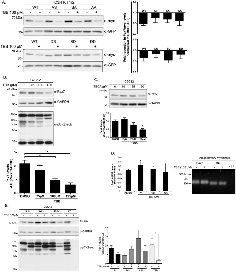 CK2 regulates Pax7 stability in proliferating myoblasts. (A) C3H10T1/2 cells transfected with myc-Pax7-WT or mutants were treated with DMSO or 100 μM of CK2 inhibitor (TBB) for 6 hours prior to lysis and Western Blot analysis. GFP was used as transfection/loading control. Right panels show quantification of fold reduction in myc-Pax7 levels (myc/GFP) for each treatment compared to vehicle (DMSO); mean±SEM, n = 5 (upper), n = 4 (lower). Pax7-DS and Pax7-DD phospho-mimetics exhibit enhanced stability upon CK2 inhibition compared to other phospho-mutants. Proliferating C2C12 cells were incubated with DMSO, TBB (B) or TBCA (C) at the indicated concentration for 6 hours. Endogenous Pax7 levels were analyzed by Western Blot using GAPDH as loading control. Anti-phospho-CK2 substrate antibody was used as a control of TBB treatment. (B)-(C), Lower panels show quantification of Pax7/GAPDH ratio in relative units; mean±SEM, n = 4; ANOVA, * p