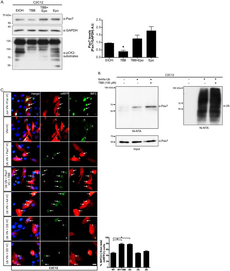 CK2 inhibition in proliferating myoblasts increases Pax7 ubiquitination and its proteasome-dependent degradation. (A) TBB-induced Pax7 decline is prevented by concomitant proteasome inhibition. Proliferating C2C12 cells were treated as indicated with TBB 125 μM and/or 1 μM of the proteasome inhibitor epoxomicin (Epo) for 6 hours and analyzed by Western blotting. GAPDH was used as loading control and anti-phospho-CK2 substrate antibody was used as a control of TBB treatment. Right panel shows quantification of protein levels (Pax7/GAPDH) normalized to control (DMSO); mean±SEM, n = 3; ANOVA, * p