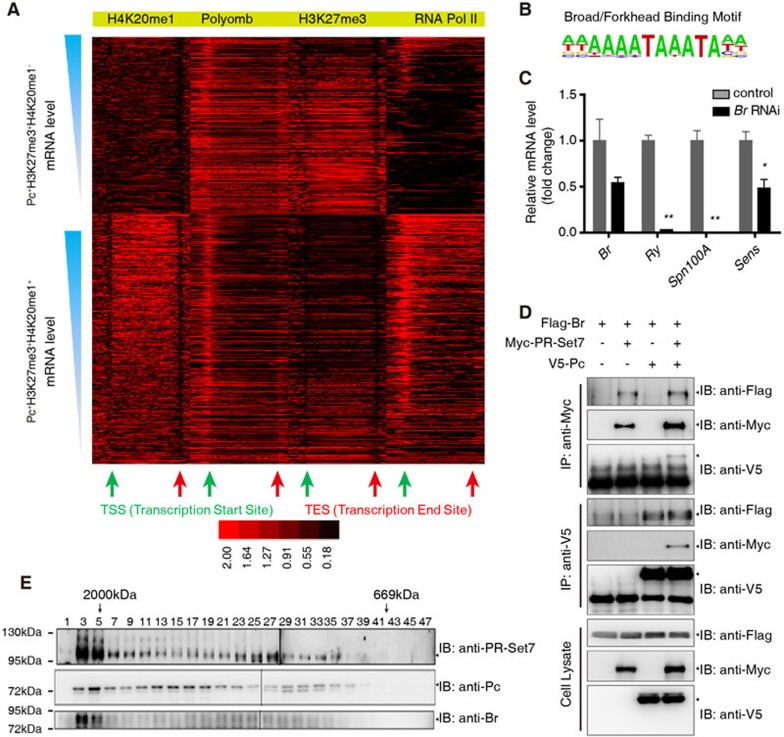 Selective markers for the functional switch of Pc from a transcription repressor to an activator. (A) Heat maps of ChIP signals at Pc + H3K27me3 + H4K20me1 − and Pc + H3K27me3 + H4K20me1 + genes. (B) The Broad/Forkhead motif identified in Pc + H3K27me3 + H4K20me1 + genes. (C) RT-qPCR analysis of mRNA levels of Br , Ry , Spn100A and Sens in Act5c-Gal4 or Act5c-Gal4/uas-dsRNA Br wing discs. (D) S2 cells were transfected with combinations of DNA constructs as indicated. After 48 h of transfection, lysates from transfected S2 cells were immunoprecipitated with anti-V5 antibody or anti-Myc antibody. Western blots were performed to analyze the presence of Flag-, V5- or Myc-tagged proteins. (E) Gel filtration chromatography on a Superose 6 column and western blot of Cl-8 nuclear extract. Molecular weight standards are shown on top (in kDa). Means ± SD; n = 3. * P