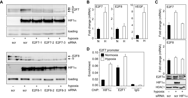 E2F7 expression is induced in response to hypoxia by HIF1. ( A ) Westernblot analysis of E2F7, E2F8 and HIF1α expression in lysates from HeLa cells transfected with control (scrambled, scr) siRNA, or one of three different E2F7 or E2F8-specific siRNAs (numbered 1, 2 and 3), as indicated. Cells were maintained in normoxia (−) or hypoxia (+) as indicated. Non-specific and background ('b') bands serve as loading controls. ( B ) Graphs showing E2F7, E2F8 or VEGFA mRNA levels (depicted as fold change compared to normoxic mRNA levels) isolated from HeLa cells grown in normoxia or hypoxia, and determined by qPCR. In this and all subsequent figures black bars present normoxic (N), and white bars hypoxic (H) conditions. ( C ) ChIP assay, using normoxic or hypoxic HeLa cells, showing enrichment of HIF1α, E2F1 (positive control) or IgG (negative control) on the E2F7 promoter (element 2). ( D ) Graphs showing E2F7 or E2F8 mRNA levels as determined by qPCR. RNA was isolated from HeLa cells grown in normoxia or hypoxia, transfected with control (scr) or HIF1α siRNA as indicated. Lower panels are Western blots showing E2F7, HIF1α and HDAC1 (loading) protein levels. All quantified data present the average ± S.D. compared to the indicated controls in at least three independent experiments.