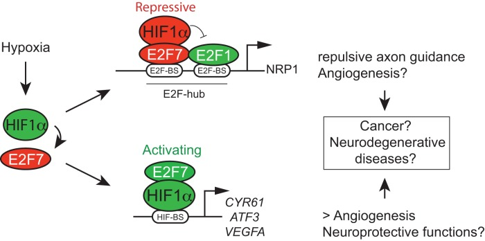 Dualistic functions of the HIF1α-E2F7 complex in gene regulation, and biological implications. Hypoxia induces E2F7 expression through transcriptional activation by HIF1. The almost complete absence of differential gene regulation of common targets by the classified transcriptional activator HIF1α and the repressor E2F7, as observed in our microarray data (Supplementary Figure S2C and D), as well as in the combined ChIP-seq and microarray data (Figure 2C and D ; Supplementary Figure S2F), unequivocally demonstrated the existence of the transcriptional network regulated by the HIF1α-E2F7 complex, in which the complex can either function as a repressor or activator. We reveal a direct role for HIF1α in transcriptional repression by acting independent of HIF-binding sites, but instead through an E2F-hub, as we show for NRP1 . We expect that the HIF1α-E2F7 complex stimulates gene expression through HIF-binding sites, as we recently showed for VEGFA ( 14 ). Although not shown, NRP1 is also repressed, and CYR61 stimulated by HIF1β/ARNT (Supplementary Figure S4B,C). The HIF1α-E2F7 complex may counterbalance the expression of common repressed targets by replacing E2F1 from these promoters in hypoxia, when expression of HIF1α and E2F7 is induced. This mechanism regulates MN axon guidance during normal development, but could also serve neuroprotective functions, as growth cone collapse may eventually result in neuronal death. Whether HIF1-E2F7 induction of VEGFA expression also serves neuroprotective functions remains to be shown, which is also true for the potential role of the HIF1α-E2F7/ NRP1 pathway in regulating (tumor) angiogenesis.