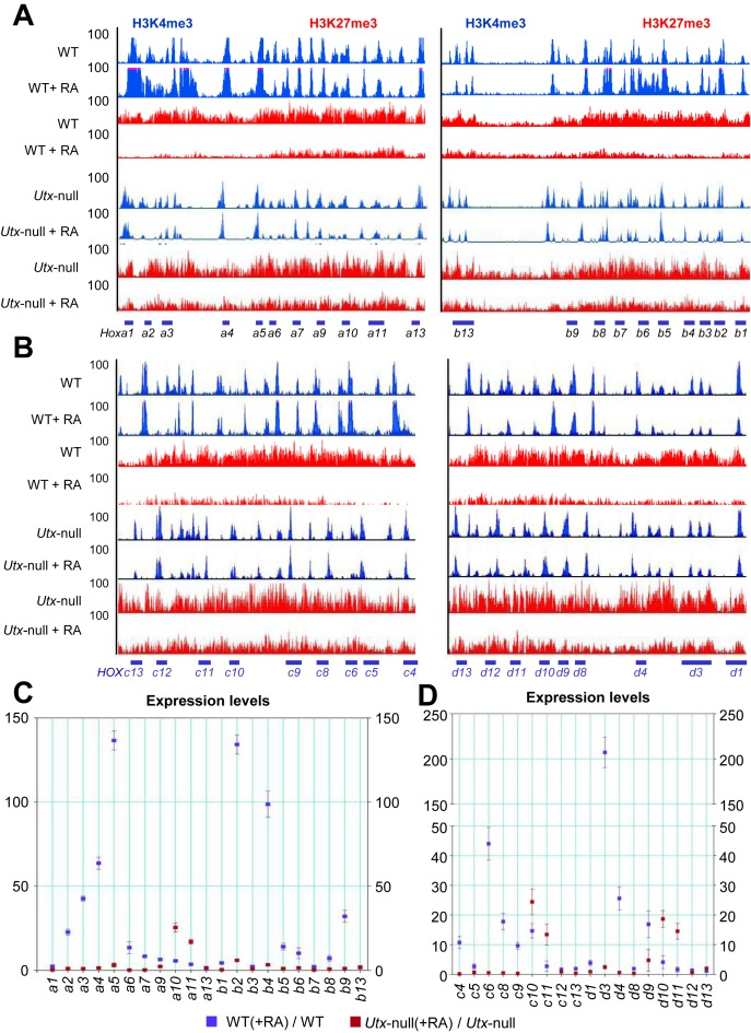 UTX loss blocks the RA-induced bivalency resolution and activation of most bivalent Hoxa and Hoxb genes in mouse ESCs. ( A and B ) ChIP-Seq density profiles for H3K27me3 (red) and H3K4me3 (blue) at the mouse Hoxa / Hoxb (A) and Hoxc / Hoxd (B) cluster genes. H3K4me3 and H3K27me3 levels at the Hoxa – d promoters in WT, RA-induced WT, Utx -null and RA-induced Utx -null V6.5 mouse ESCs were analyzed using ChIP-Seq. The vertical axis shows ChIP-Seq signals at a maximal value of 100. ( C and D ) Effect of UTX knockdown on RA-induced changes in expression levels of Hoxa/Hoxb (C) and Hoxc / Hoxd (D) cluster genes. mRNA levels of Hoxa – d cluster genes in WT, RA-induced WT, Utx -null and RA-induced Utx -null V6.5 mouse ESCs were analyzed using quantitative RT-PCR. Cells were treated with 0.2 μM RA. Data are presented as the mean ± SEM (error bars) of at least three independent experiments. * P