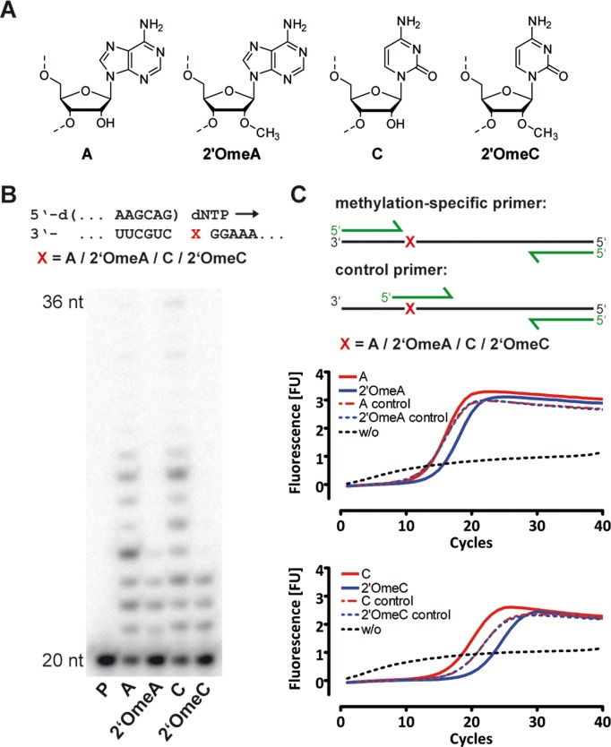 DNA synthesis catalyzed by RT-KTQ-LSIM is hampered by 2′-O-methylation of RNA templates. ( A ) Structures of relevant nucleotides. ( B ) Primer extension in presence of methylated or unmethylated RNA templates catalyzed by RT-KTQ-LSIM. ( C ) qRT-PCR amplification of methylated and unmethylated RNA oligonucleotides catalyzed by RT-KTQ-LSIM.
