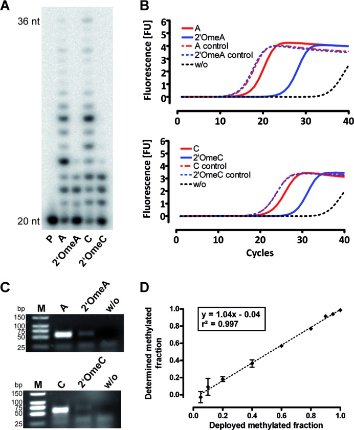 RT-KTQ-LSIM V669L features increased discrimination between 2′-O-methylated and unmethlyated RNA templates and enables quantification of 2′-O-methylation by qRT-PCR. ( A ) Primer extension in the presence of methylated or unmethlyated RNA templates catalyzed by RT-KTQ-LSIM V669L. ( B ) qRT-PCR amplification of methylated and unmethylated RNA oligonucleotides catalyzed by RT-KTQ-LSIM V669L. ( C ) RT-PCR reactions were stopped after 25 cycles (top) or 30 cycles (bottom) and analyzed by agarose gel electrophoresis. ( D ) The ΔC T -method was used to calculate methylation ratio of RNA template at 100 pM concentration with varied fractions of 2′OmeA/A at the target position. Error bars describe SD (n = 3).