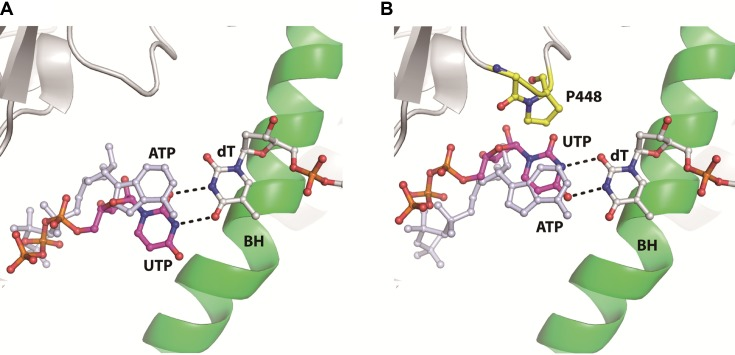 Molecular modeling of UTP binding opposite dT template at pol II active site. ( A ) UTP forms a wobble bonding pair with dT template, resulting in the misalignment of its triphosphate group compared to cognate ATP recognition. ( B ) An alternative form of UTP:dT pairing In this form, the UTP shifts toward the minor groove of the RNA/DNA hybrid, leading to steric clash between pol II residues and the incoming nucleotide. The two potential base pairing behaviors were modeled based on the previously reported U:U pair ( 42 ).
