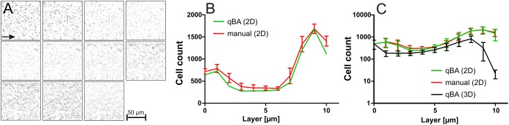 Comparison of manual counting and automated counting by qBA. T. (A) Processed images of a P . aeruginosa <t>biofilm</t> Z-stack. (B) Three manually and individually determined bacteria numbers (red line) per layer compared to individual counting by qBA (2D, green line). (B) Three different biofilms of P . aeruginosa were analyzed manually (red line) and by qBA (2D, green line and 3D, black line). In general the cell distribution within those three independent grown biofilms exhibited a minor deviation.