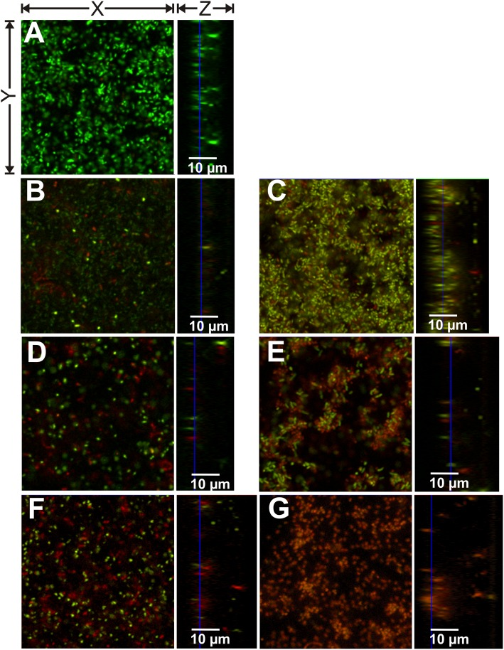 CLSM images of P . aeruginosa PA01 biofilms after 24 hours growth treated with PBS or nitroxoline or colistin for 3.5 hours. (A) PBS treatment; (B) 160 μg/mL nitroxoline; (C) 160 μg/mL colistin; (D) 320 μg/mL nitroxoline; (E) 320 μg/mL colistin (F) 640 μg/mL nitroxoline; (G) 640 μg/mL colistin. Viable cells are visible in green (SYTO 9) and dead cells in red (propidium iodide). All images present only sections of approximately 50 x 50 μm (X x Y) and variable Z-sizes (depending on biofilm thickness).