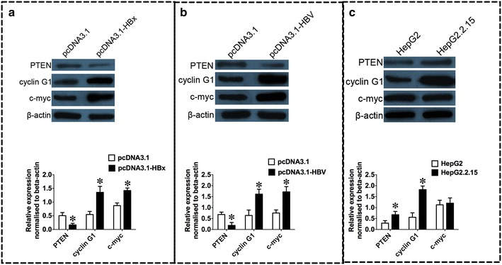 Protein expression levels of PTEN, cyclin G1 and c-myc in HepG2 cell lines transfected with HBx or 1.3 fold HBV and in HepG2.2.15 cells. a Western blot analysis of PTEN, cyclin G1 and c-myc in HepG2 cells transfected with HBx expression plasmid pcDNA3.1-HBx or its control vector, pcDNA3.1; b Western blot analysis of PTEN, cyclin G1 and c-myc in HepG2 cells transfected with 1.3 fold HBV expression plasmid pcDNA3.1-HBV or its control vector, pcDNA3.1; c Western blot analysis of PTEN, cycling G1 and c-myc in HepG2.2.15 cells and its control, HepG2 cells. HBV hepatitis B virus, HBx HBV X protein. Data represents the mean ± SEM, n = 3, * P