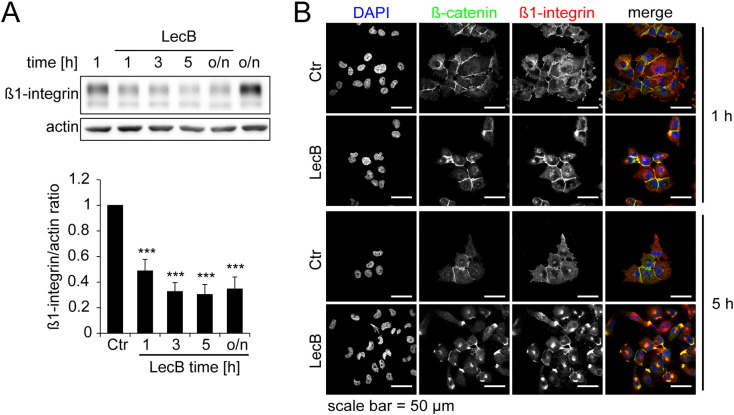 <t>Beta1-integrin</t> is degraded and locates to the perinuclear region. All treatments were performed with 4.3 μM LecB. (A) Cells were treated as indicated for different time periods and <t>β1-integrin</t> protein levels were determined by Western blot analysis and densitometric quantification using ImageJ. Protein levels were normalized to actin. Representative blots (above) and quantification data (below) are depicted. Values represent the mean of at least three independent experiments ± SEM. Asterisks indicate the statistical significance. (B) Cells were treated as indicated for 1 h and 5 h and analyzed by confocal fluorescence microscopy with immunostainings for β-catenin (green), β1-integrin (red) and counterstaining for DNA (DAPI, blue).