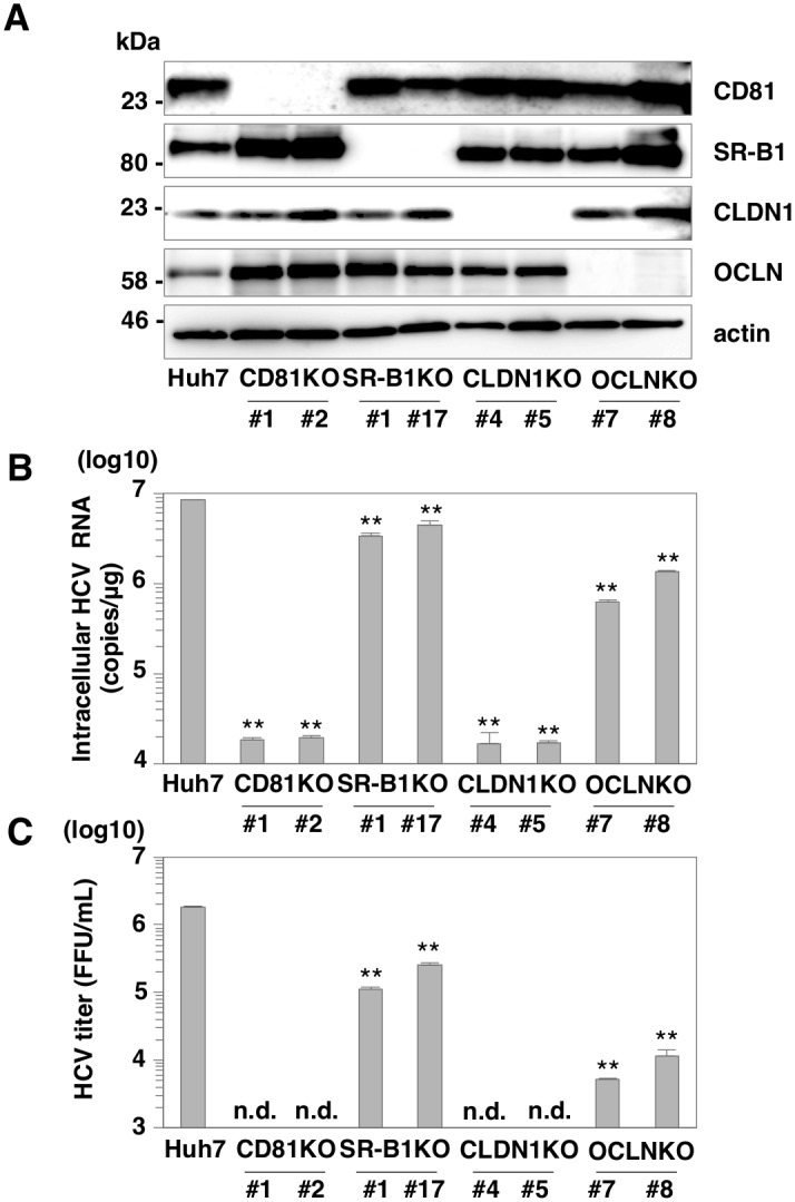 SR-B1 is dispensable for HCV entry into Huh7 cells. (A) Expressions of CD81, SR-B1, CLDN1, and OCLN in parental, CD81 KO, SR-B1 KO, CLDN1 KO and OCLN KO Huh7 cells were determined by immunoblotting analysis. (B) Cells were infected with HCVcc at an MOI of 1, and intracellular HCV RNA levels at 24 h post-infection were determined by qRT-PCR. (C) Infectious titers in the supernatants at 72 h post-infection were determined by focus-forming assay. In all cases, asterisks indicate significant differences (*P